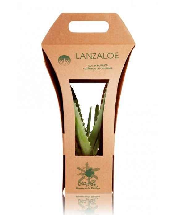Ekologiczna Roślina Aloe Vera I Sadzonka Aloesu w Doniczce z Wysp Kanaryjskich